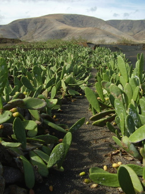 cactus plantation for cochineal production in mala, Lanzarote