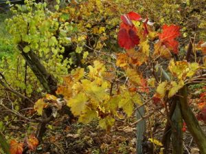 autumn vines in the village